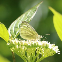 Green Veined White. (Wildlife Terry) Tags: staffordshirewildlifetrust visitorcentre westportlake stokeontrent staffordshire wildfowl waterfowl birds feeding