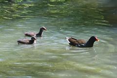 Moorhen Chicks. (Wildlife Terry) Tags: staffordshirewildlifetrust visitorcentre westportlake stokeontrent staffordshire wildfowl waterfowl birds feeding