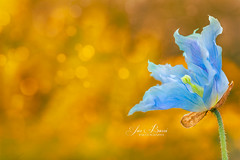 Spring 1 (Jas Bassi) Tags: jasbassi jasbassiphotography nikon105mm nikon nikond800e nikcolorefexpro macro macrophotography macroflower macrolens closeup colors longwoodgarden love springflowers spring flowerphoto flowers