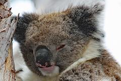 Koala .... always tired! (Uhlenhorst) Tags: 2010 australia australien animals tiere travel reisen coth coth5