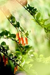 Orange flowers (helensaarinen) Tags: 5200 nikon macro floral orange orchids