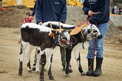 Randall Lineback calves (Boered) Tags: draftanimalday billingsfarm woodstock vermont cattle randalllineback
