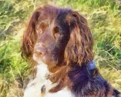 Benjy (billnbenj) Tags: benjy spaniel springerspaniel dog barrow cumbria watercolour