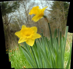 Daffodils : Autostitch (chasdobie) Tags: daffodils flowers garden nature yellow spring lanarkcounty ontario canada macro nikon outdoor pano panorama autostitch