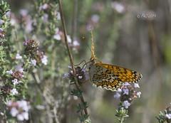 Papillon Mélitée du mélampyre (Philippe30670) Tags: gard macro mélitéedumélampyre ledamierathalie mellictaathalia