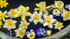 2019_04_chanticleer_daffodils_floating_7102 (PattyHankins) Tags: floatingflowers chanticleer daffodils