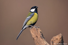 Cinciallegra _009 (Rolando CRINITI) Tags: cinciallegra uccelli uccello birds ornitologia avifauna tricerro natura