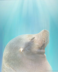 Into the Light (Robert Streithorst) Tags: cincinnatizoo duke robertstreithorst seal zoosofnorthamerica