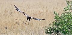 marsh harrier J78A0013 (M0JRA) Tags: rspb blacktoft sands birds flying people ponds lakes trees walks marsh harrier