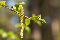 Tree Buds-F4200084 (tony.rummery) Tags: bud closeup em5mkii mft macro microfourthirds omd olympus tree guildford england unitedkingdom