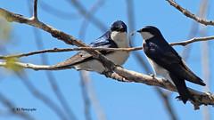 Rendez-vous sur la branche (Marie-Josée Lévesque) Tags: hirondelles oiseaux birds nature faune québec canada spring printemps branche wildlife