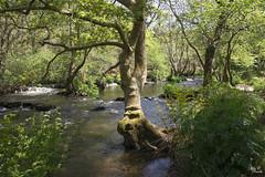 El guardián del río (Camelia-5) Tags: río agua galicia coruña bosque