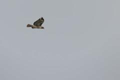 IMG_9799 (armadil) Tags: prairie ranchocorraldetierra bird birds flying hawk hawks raptor raptors rth redtailedhawk