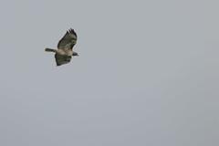 IMG_9804 (armadil) Tags: prairie ranchocorraldetierra bird birds flying hawk hawks raptor raptors rth redtailedhawk