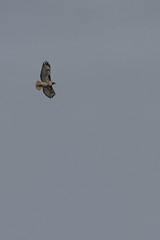 IMG_9821 (armadil) Tags: prairie ranchocorraldetierra bird birds flying hawk hawks raptor raptors rth redtailedhawk