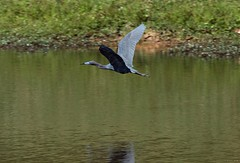Green Heron in Flight (zeesstof) Tags: zeesstof thewoodlands sterlingridge springtime suburban texas bird wildbird wadingbird heron greenheron butoridesvirescens containmentpond nature naturewalk closetohome