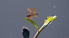 Wings Spread (zeesstof) Tags: zeesstof thewoodlands sterlingridge springtime suburban texas dragonfly sloughamberwing perithemisdomitia containmentpond nature naturewalk closetohome