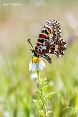 Zerynthia rumina (arlequín) (Raul Espino) Tags: butterfly mariposa arlequin canon100mml canon6dmarkii sevilla macro macrofotografia naturaleza