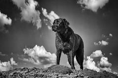 Queen Bichou (uwe.kast) Tags: labrador labradorretriever labradorredriver black blackandwhite hund haustier dog panasonic lumix g9