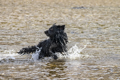 A la caza del palo 5 (lebeauserge.es) Tags: rascafría madrid españa naturaleza campo sierra agua río animal perro