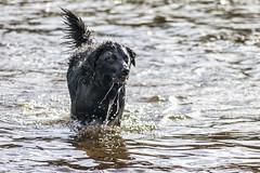 A la caza del palo 2 (lebeauserge.es) Tags: rascafría madrid españa naturaleza campo sierra agua río animal perro