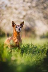 Marita the Easterbunny , EOS 6DII, Tamron 85 1,8 VC USD @ f1,8 (hundephotografie) Tags: marita zwergpinscher canoneos6dii tamron8518vcusd spring bokehlicious bokeh 85mm pets hunde prime lens dogs minpin