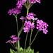 [Ashibetsu Hokkaido, Japan / 北海道芦別] Primula modesta ex Ashibetu Bisset & S.Moore (1878)