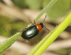 Leaf Beetle - Gastrophysa polygoni (Prank F) Tags: bramptonwood wildlifetrust cambridgeshireuk wildlife nature insect macro closeup beetle leaf gastrophysapolygoni