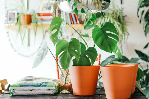 elephant plant on orange plastic pot - Credit to https://myfriendscoffee.com/