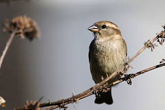 House Sparrow. (Chris Kilpatrick) Tags: chris canon canon7dmk2 sigma sigma150mm600mm outdoor wildlife nature bird animal housesparrow passerdomesticus douglas isleofman garden signsofspring springwatch