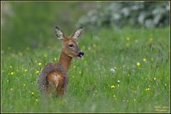 """Chevreuil  """" Chevrette """" ( Capreolus capreolus ) image prise en milieu naturel . """" aucun groupe en partage et aucune invitation s'il vous plaît ! No groups and no invitations please ! """" (Le Papa'razzi) Tags: chevreuilfemelle capreoluscapreolus pâturage animalsauvage nikond500 nikkor200500mmf56"""