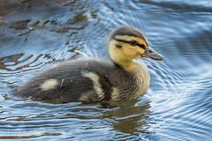 Cute duckling 501_9878.jpg (Mobile Lynn) Tags: wildfowl mallard birds ducks nature anasplatyrhynchos anseriformes bird duck fauna wildlife estuaries freshwater lagoons lakes marshes ponds waterfowl webbedfeet