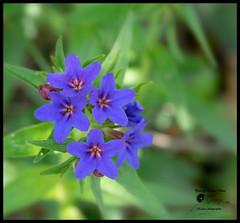 Aegonycon purpurocaeruleum (Enrico Moser) Tags: trentino flora flowers fiori flores primavera printemps piante spring boraginaceae