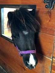Miniature Horse (mudder_bbc) Tags: lancastercounty horses miniaturehorses ronks lilcountrystoreminiaturehorsefarm