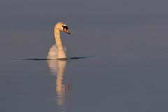 Mute Swan (Deadpanhammer) Tags: swan attenboroughnaturereserve canon7dmk2 ef400mmf56l wildlife bird nature