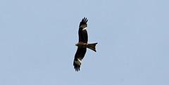 DSC05964 (garrymoors) Tags: red kite dorset blashford lakes ringwood bird prey