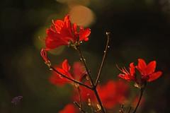 Azaleas 1 (In natural light) (archiphot56) Tags: springflowers azaleas macro sigma70300apomacro nikcollection