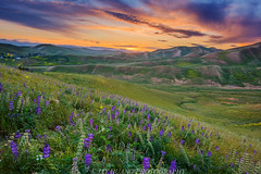 Lupine Field (Jaykhuang) Tags: wildflowers spring lupine rollinghills trivalley dublin livermore pleasanton sunset yiupai jayhuangphotography springgreen
