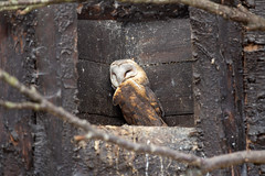 Scottish Owl Centre 18 (Five Second Rule) Tags: scottishowlcentre scotland owl bird polkemmetcountrypark whitburn wildlife birds perched wings flying 2019 april