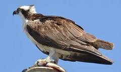 DSC_0341 (tracie7779) Tags: fishhawk huntingtonbeach pandionhaliaetus seahawk sunsetaquaticmarina westernosprey bird hawk osprey predation