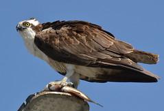 DSC_0340 (tracie7779) Tags: fishhawk huntingtonbeach pandionhaliaetus seahawk sunsetaquaticmarina westernosprey bird hawk osprey predation