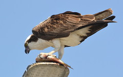 DSC_0338 (tracie7779) Tags: fishhawk huntingtonbeach pandionhaliaetus seahawk sunsetaquaticmarina westernosprey bird hawk osprey predation