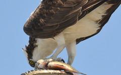 DSC_0334 (tracie7779) Tags: fishhawk huntingtonbeach pandionhaliaetus seahawk sunsetaquaticmarina westernosprey bird hawk osprey predation