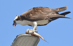 DSC_0330 (tracie7779) Tags: fishhawk huntingtonbeach pandionhaliaetus seahawk sunsetaquaticmarina westernosprey bird hawk osprey predation