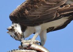 DSC_0328 (tracie7779) Tags: fishhawk huntingtonbeach pandionhaliaetus seahawk sunsetaquaticmarina westernosprey bird hawk osprey predation