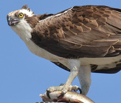 DSC_0326 (tracie7779) Tags: fishhawk huntingtonbeach pandionhaliaetus seahawk sunsetaquaticmarina westernosprey bird hawk osprey predation