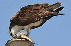 DSC_0324 (tracie7779) Tags: fishhawk huntingtonbeach pandionhaliaetus seahawk sunsetaquaticmarina westernosprey bird hawk osprey predation