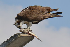 DSC_0297 (tracie7779) Tags: fishhawk huntingtonbeach pandionhaliaetus seahawk sunsetaquaticmarina westernosprey bird hawk osprey predation