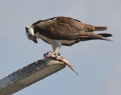 DSC_0292 (tracie7779) Tags: fishhawk huntingtonbeach pandionhaliaetus seahawk sunsetaquaticmarina westernosprey bird hawk osprey predation