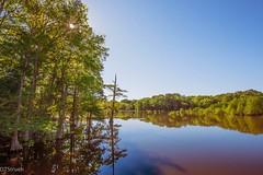 Cypress trees along the banks of Lake Chicot (dts7708) Tags: swamp trees water lakes louisiana